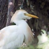 Egret скотин садился на насест в дереве, крупном плане Стоковые Фото