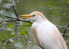 Egret скотин садился на насест в дереве, крупном плане Стоковое Изображение