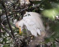 Egret скотин садился на насест на ем гнездо ` s Стоковые Изображения
