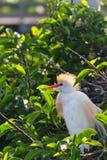 Egret скотин сидя в кусте на воде на заболоченных местах Wakodahatchee в Флориде стоковое изображение rf