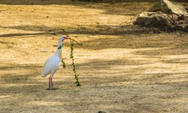 Egret скотин собирая ветви, цаплю держа ветвь, сезонное поведение птицы во время весны стоковая фотография rf