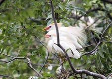 Egret скотин сразу после сопрягать Стоковая Фотография