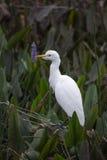 Egret скотин с засорителем Pickerel стоковое изображение rf