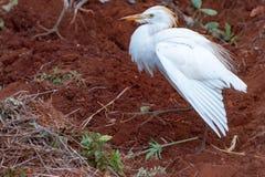 Egret скотин с комодом сопнул вверх стоковая фотография