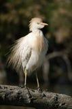 egret скотин Стоковое Изображение RF