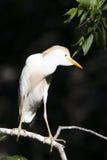 Egret скотин Стоковые Изображения RF