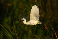 egret скотин Стоковое фото RF