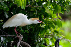 Egret скотин Стоковые Изображения