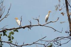 Egret скотин Стоковое Фото
