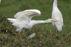 egret скотин Стоковое Изображение