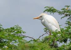 Egret скотин Стоковые Фотографии RF