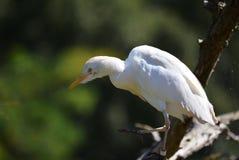 Egret скотин Стоковые Фото