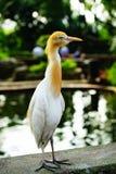 Egret скотин стоковая фотография rf