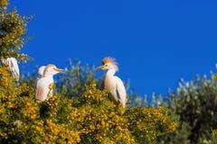 Egret скотин, Bubulcus ibis гнездится к Марокко Стоковая Фотография
