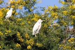 Egret скотин, Bubulcus ibis гнездится к Марокко Стоковые Изображения RF