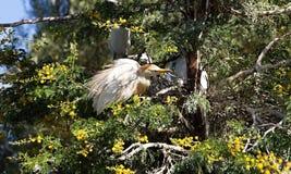 Egret скотин, Bubulcus ibis гнездится к Марокко Стоковое Фото