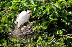 Egret скотин (Bubulcus ibis) & младенец в гнезде Стоковые Изображения