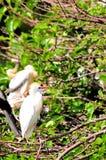 Egret скотин (Bubulcus ibis) & младенец в гнезде Стоковые Фотографии RF
