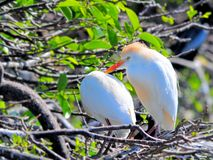 Egret скотин (Bubulcus ibis) Стоковое Фото