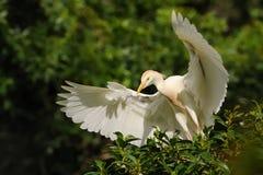 Egret скотин & x28; Ibis& x29 Bubulcus; Стоковые Фото