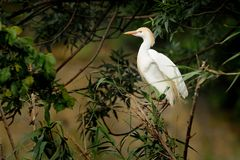 Egret скотин & x28; Ibis& x29 Bubulcus; Стоковое Изображение