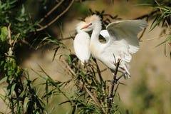 Egret скотин & x28; Ibis& x29 Bubulcus; Стоковое Изображение RF