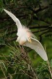 Egret скотин & x28; Ibis& x29 Bubulcus; Стоковое фото RF