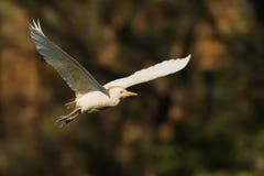 Egret скотин & x28; Ibis& x29 Bubulcus; Стоковые Изображения RF