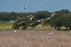 egret скотин ibis bubulcus Стоковые Фото