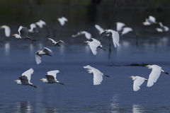 egret скотин ibis bubulcus Стоковые Изображения RF