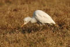 Egret скотин, Koereiger, coromandus ibis Bubulcus стоковая фотография