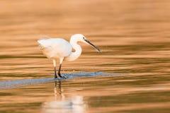 Egret скотин spearing рыба в золотой воде Стоковое Изображение