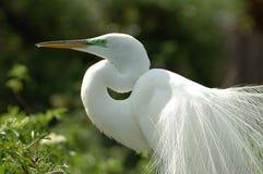 egret снежный Стоковое Фото