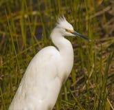 egret снежный Стоковая Фотография