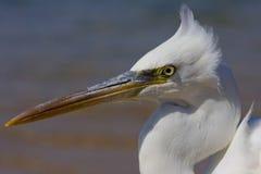 egret снежный Стоковые Фотографии RF