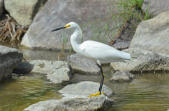 egret снежный Стоковое фото RF