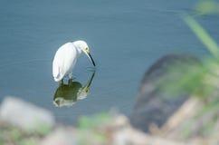 egret снежный Стоковые Изображения RF