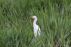 Egret среди травы Стоковая Фотография