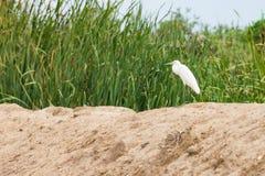 Egret стоя на насыпи Стоковое Фото