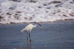 Egret с крабом Стоковое Фото