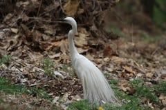 Egret с красивыми кожами Стоковые Фото