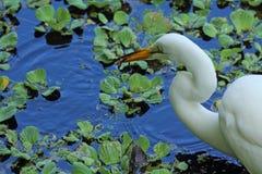 Egret с саламандром в своем счете в Флориде Стоковое Фото