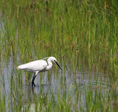egret удя меньший пруд Стоковое фото RF