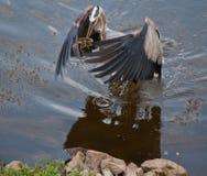 Egret улавливает 2 рыб Стоковое фото RF