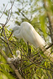egret цыпленоков скотин Стоковое Фото
