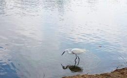 Egret для жертв стоковые изображения rf