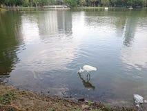 Egret для жертв стоковая фотография
