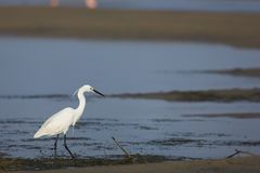 Egret #1 Royalty Free Stock Photography