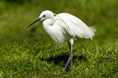 Egret 1 Royalty Free Stock Image