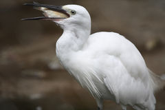 Egret. Is swallowed a small fish stock photos